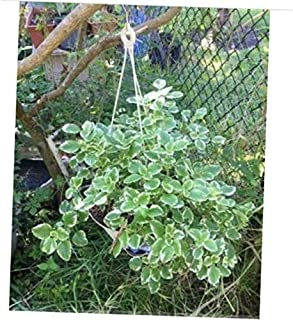 PVEE 10 Cuttings Variegated Swedish Ivy (Plectranthus Coleoides Variegata) 4 to 8