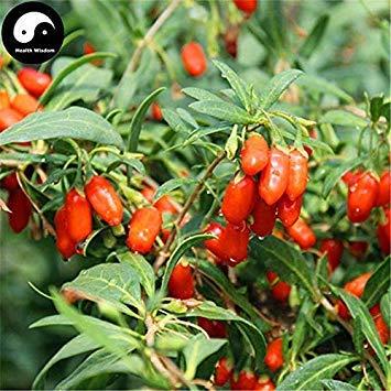 Potseed Samen Keimung: 100 Stück: Kaufen echte Goji Beeren Pflanze Rot Bocksdorn-Baum für Goji Beeren