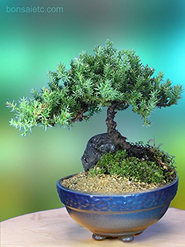 5+ Year Old Juniper Bonsai Tree in Setku Bowl - Traditional Metallic Finish