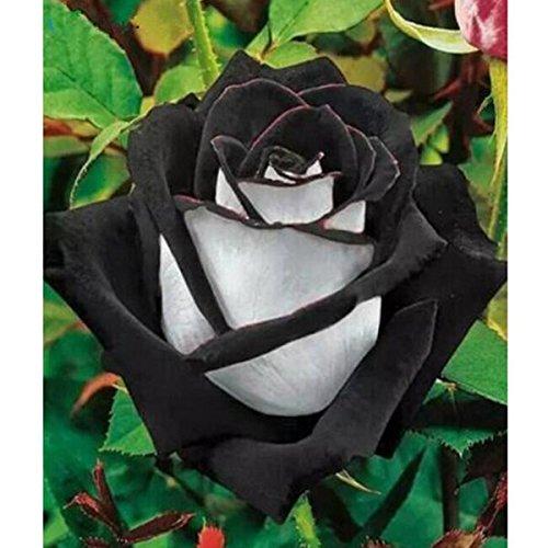 fleurs de jardin Graines Pot Bonsai Rose Seed Professional usine Semis de Floer / Vary Couleurs Sélection 50 graines / paquet