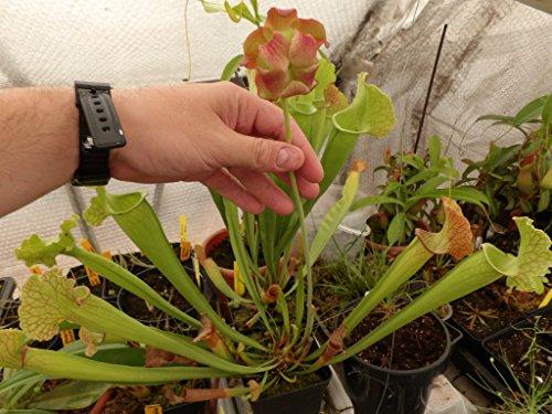 TROPICA - Schlauch- / Kannenpflanze (Sarracenia purpurea) - 10 Samen inklusive Kultursubstrat