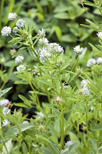 Seedeo Blauer Steinklee (Trigonella caerulea L.) 300 Samen