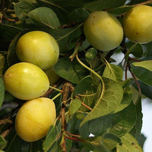 Lippische Eierpflaume, robuste gelbe Pflaume 1jähriger Buschbaum 100-120 cm 7,5 Liter Topf Wangenheims