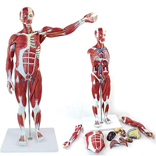 Muskelstrukturmodell des menschlichen Körpers, 27 Teile Anatomiemodell der inneren Organe Geeignet für Biologie Anatomie Teaching Requisiten