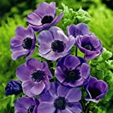 Yukio SEED CORNER - 5pcs Rare Poppy Anemone Mixture Japanese Anemone Easy to Grow Garden, Exotic Flower Seeds Hardy Perennial