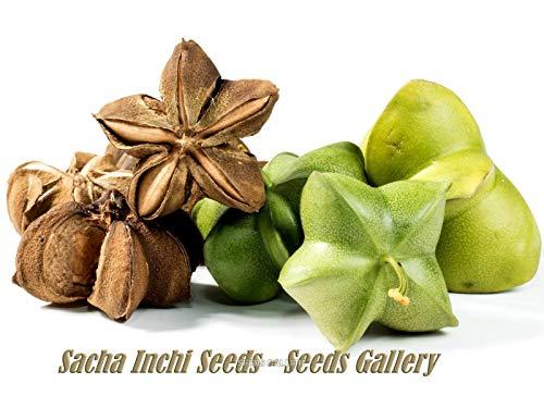 Plukenetia volubilis, Sacha Inchi, Inka Nuss - Samen, tropische Rarität aus Südamerika - 5 Samen