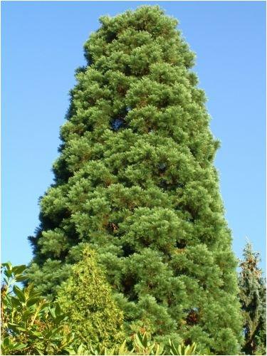 Seedeo Urwelt-Mammutbaum (Metasequoia glyptostroboides) 200 Samen