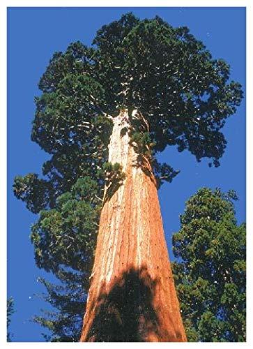 TROPICA - Séquoia de montagne (Sequoiadendron gigantea) - 50 graines- Résistant au froid
