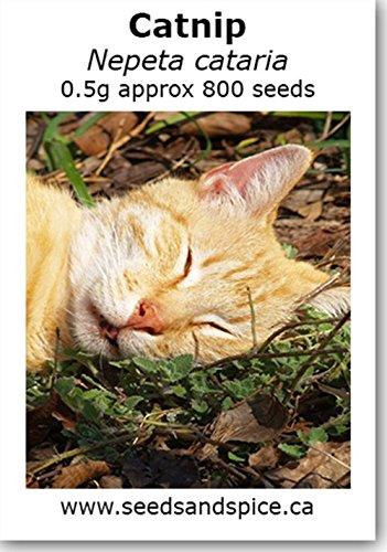 Herbe à chat (Nepeta Caataria) 500 graines