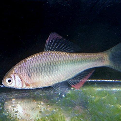 (淡水魚)ヤリタナゴ(3匹)【生体】