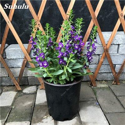 100pcs Belles aromatiques gypsophile Graines vrai étoilées fleurs en pot Gypsophila paniculata All Over The Sky Étoile Bonsai Fleur 8