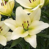 1x Bulbo lirio Bulbos lilium blanco Bulbos de primavera...