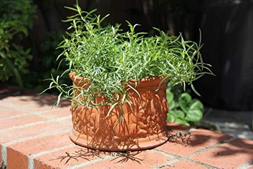 Potseed ® Kräutersamen Garten - Französisch Estragon Aromatische Kräuter Kitchen Garden Pack von