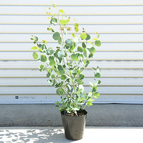 庭木:ユーカリ ポポラス 樹高:約120cm 大株 佐川急便発送