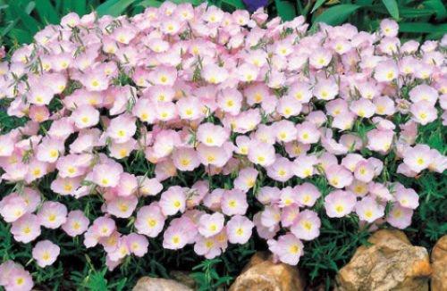 Rosa Primrose Samen, Nachtkerze, Erbstück Blume, Nicht-GVO-Perennial 100ct
