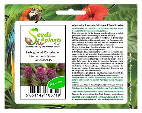 Stk - 20x Larix gmelinii Dahurische Lärche Baum Bonsai Samen B2145 - Seeds Plants Shop Samenbank Pfullingen Patrik Ipsa