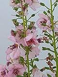 Späth Staude im Topf Königskerze 'Rosie' rosa blühend, Blütenstauden mehrjährig 1 Pflanze