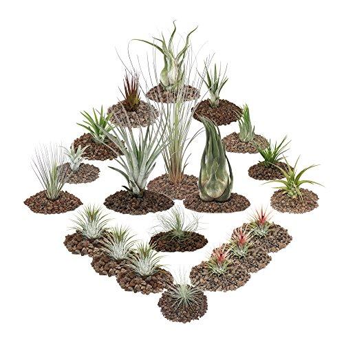 exotenherz - Tillandsien, dekorative Pflanzen - 20er Set inklusive 3 XXL Tillandsia