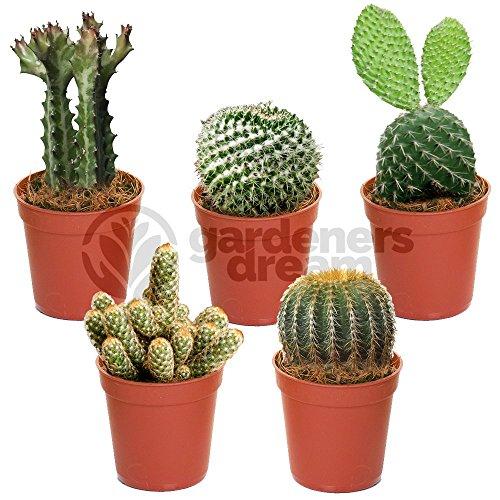 Cacti Cacty Cactus Cereus Florida in Planter