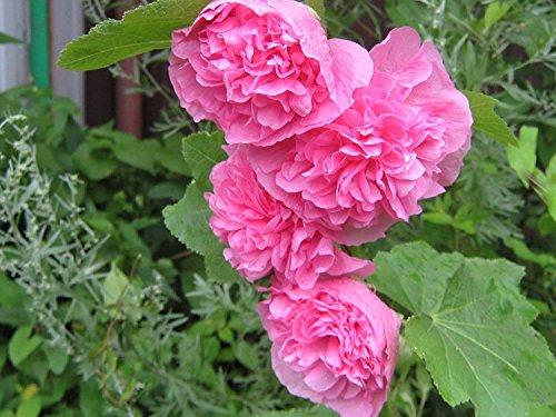 Graines de fleurs trémière Makhrovaya double, rose (Althaea rosea) vivaces