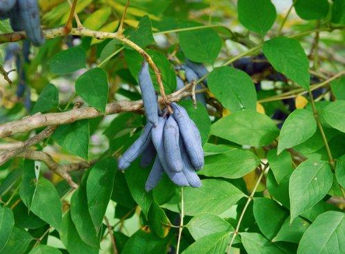 Blaugurkenbaum Blauschote Decaisnea fargesii 5 Samen
