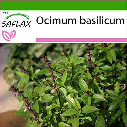 SAFLAX - Basilic thai - 200 graines - Avec substrat - Ocimum basilicum