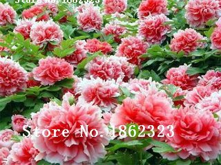 graines de pivoine rare noir fleur de pivoine bonsaï de semences décoration maison de jardin 100% réelles graines 5pcs / bag