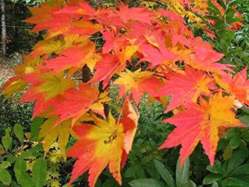 Max 59% OFF Dichondra Korean Maple Seeds Tree Outstanding