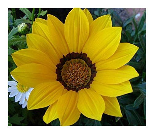 Gazania krebsiana high altitude - Gazanie jaune - 10 graines