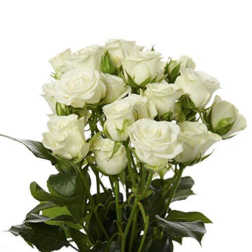 Weiße Rosensamen 100+ (Rosa rugosa Thunb) Easy Grow Bio-Blume Hochwertige frische Pflanzensamen zum Pflanzen im Garten im Freien