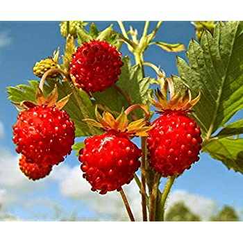 100x Climbing Strawberry Tree Seeds Red Organic Herb Delicious Fruit Plant Seeds