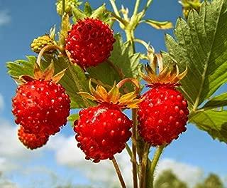 Wild Strawberries Organic Seeds Sweet Rare up to 100 Seeds