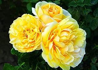 michelangelo rose bush