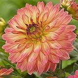 Dahlia Pablo (2Knollen), Abendessen Teller Dahlien Knollen, große Blumen, Blüten Sommer auf Fall