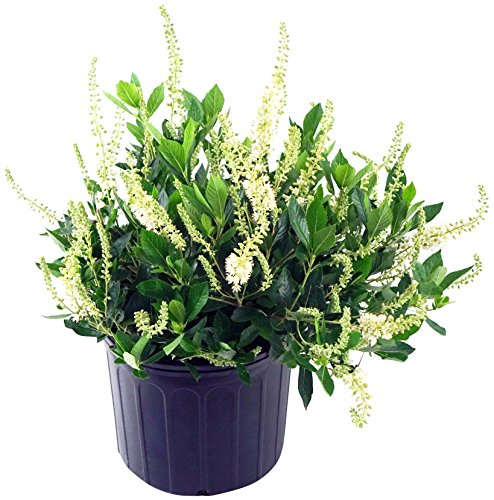Clethra aln. 'Hummingbird' (Summersweet) Shrub, white flowers, #3 - Size Container