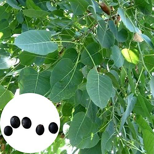 P12cheng Semillas de plantas 5 unidades/bolsa Bodhi árbol semillas ligeras de hoja perenne entrelazadas Bonsai Jardín Ficus Religiosa Semillas para plantar - Bodhi Seed
