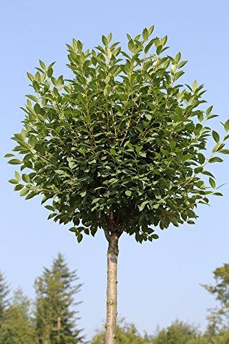 Kugelkirsche, Stämmchen, Höhe: 180-190 cm Prunus fruticosa Globosa, Steppenkirsche + Dünger