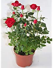 Rosal miniatura Pitimini