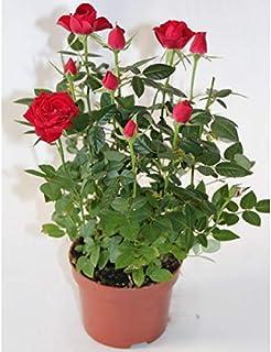 comprar comparacion Rosal miniatura Pitimini (Blanco)