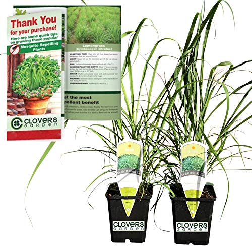 "Clovers Garden 2 Large Lemongrass Plants Live - Mosquito Repellent Plants 4""– 7"" Tall in 3.5"" Pots - Non-GMO Edible Medicinal Herb Cymbopogon Citratus"