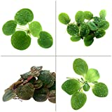 Aquarigram Floating Plant Combo Pack! (Amazon Frogbit, Red Root Floater, Dwarf Water Lettuce, Water Spangles)