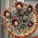 PLAT FIRM clerocactu uncinatu Rare CACTU Cacti Seed 20 Seed -