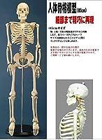 人体模型シリーズ 人体骨格模型85cm【同梱・代引不可】