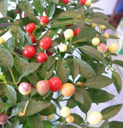 200 graines géantes épices Spicy Red Hot Chili Pepper Graines Plantes cour jardin de bonsaïs en pot balcon graines de plantes Nouvelle arrivée 7