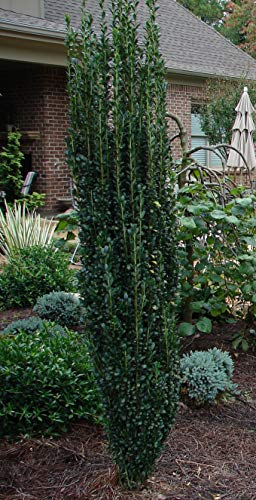 Plants by Mail Plant 2.4 Gal. Sky Pencil Japanese Holly (Ilex) -#3 (24-38 inches Tall), 2.4 Gallon, Live Evergreen Shrub with Upright Growth Habit