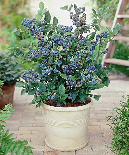 Keland Garten - Amerika Rarität Riesen-Heidelbeeren 'Patriot' schmackhaft, blauen Beere Obstsamen winterhart mehrjährig in Blumentopf oder Pflanzkübel