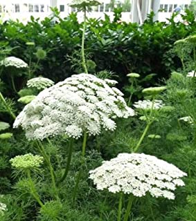 1 Packet of 50 Seeds Green Mist Toothpick Weed - Apiaceae - Ammi Visnaga, False Queen Anne`s Lace