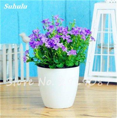 50 Pcs Campanula Graines rares Fleur Plante en pot Couleurs mélangées 95% Taux de bourgeonnement vivaces Plantes Bonsai Maison et Jardin 9