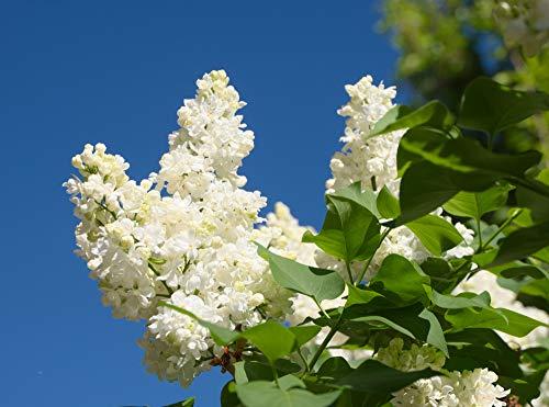'Madame Lemoine' Syringa Vulgaris-Branched Lilac Tree 40-60cm Shrub in a 2L Pot 3fatpigs