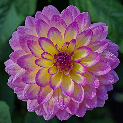 Rare Dahlia Opera Light Yellow and Pink 100+ Fresh Seeds